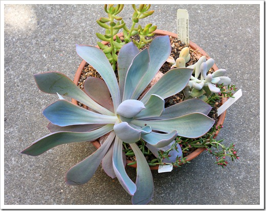 120821_Echeveria-Purple-Afterglow_02