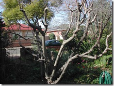 The same tree after pruning and ready for grafting to begin