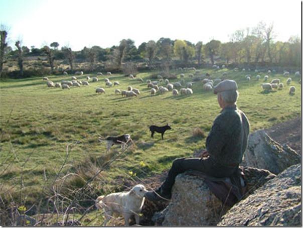 Ovelhas Pastando (12)