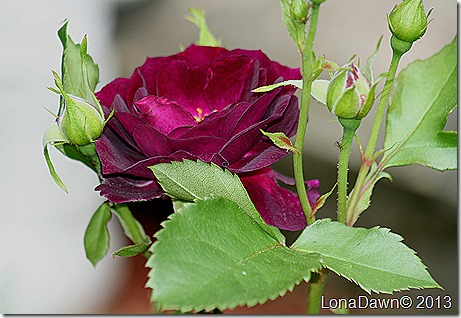 Rose_Midnight_Blue_Shrub2