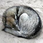 sleeping_wolf_curled_up.jpg