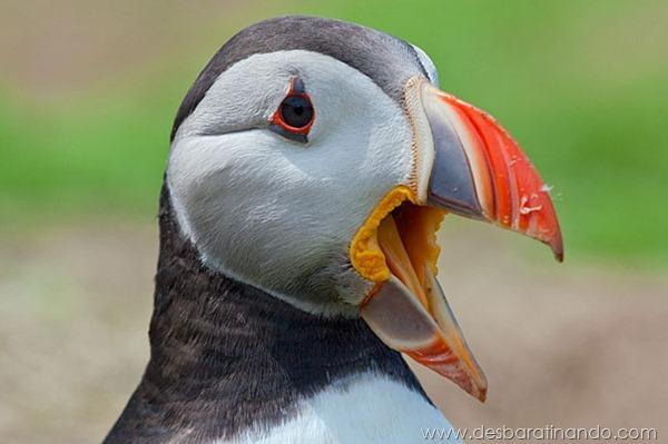 animais-bocejando-bocejar-desbaratinando (14)