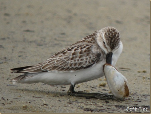 sandpiper with clam stuck_018
