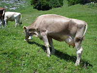 Cows on Rigi Kulm - Quenn of Mountains