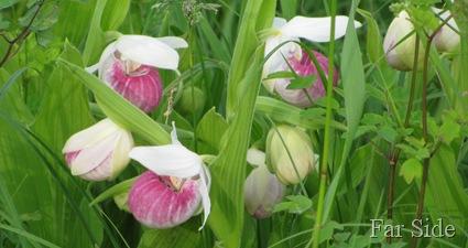 Minnesotas State Flower