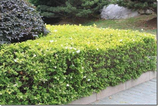 昆山城市公園,下面的圖片裡那些小小的白色點,其實絕大部分都是蝴蝶,衝著花香而來。