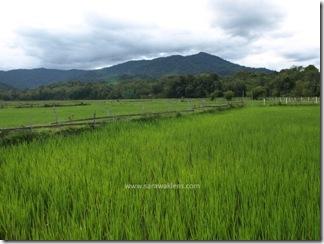 Bakalalan_rice_field_sawah_padi_4
