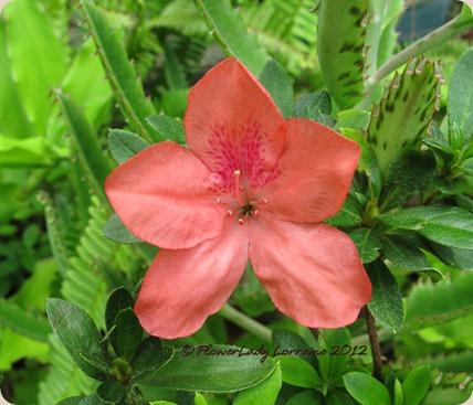 07-18-azalea
