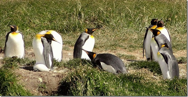 King_Penguins_DSC01006