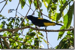 Yellow-rumped Cacique-8D3E0550