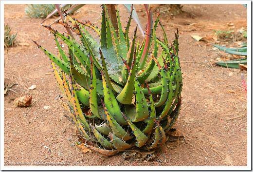 140202_UCD_Aloe melanacantha_001