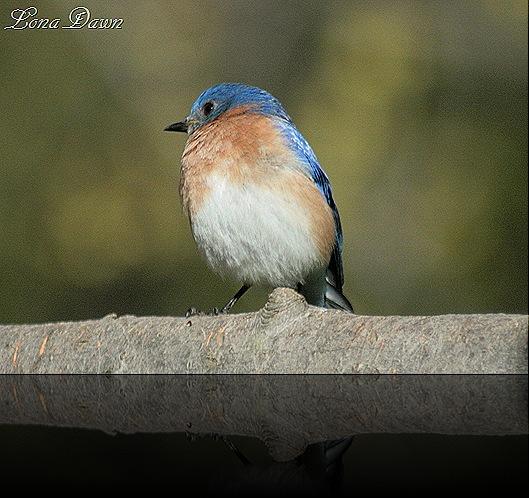 Bluebird2_April2012