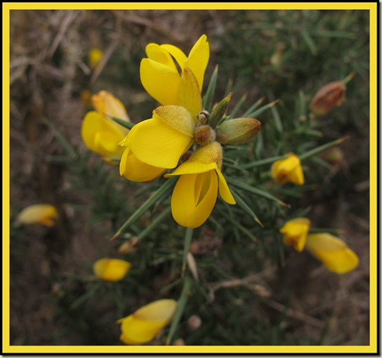 Gorse (Ulex europaeus) by Manchester Ship Canal