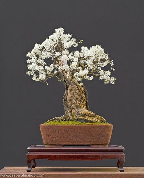 bonsais arvores em miniatura desbaratinando (95)