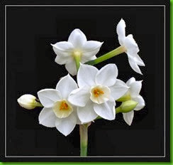 Narciso Paperwhite