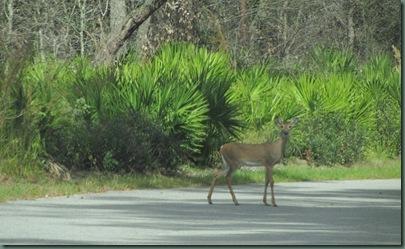 Wekiva springs State Park deer