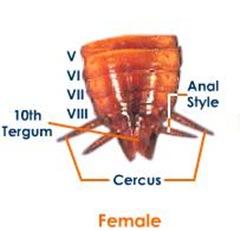 femalecockroach