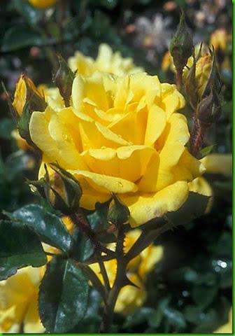 Rosa Allgold