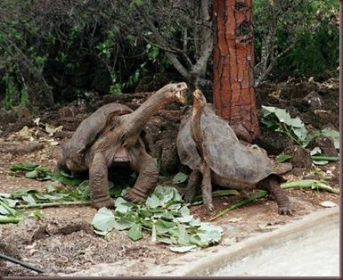 Amazing Animals Pictures Pinta Island tortoise (9)