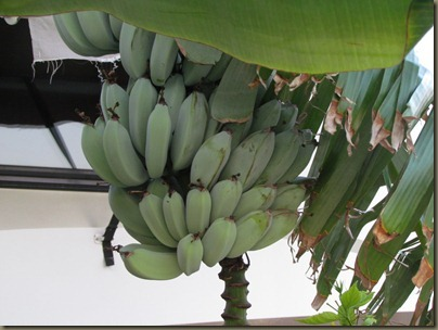 bananna tree at sunshine key