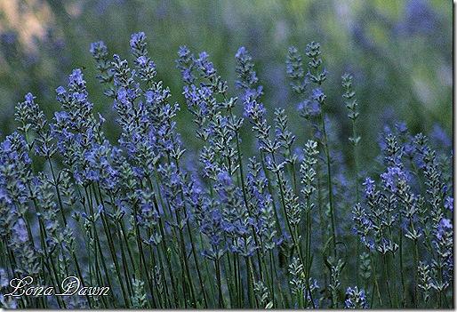 M_Lavender