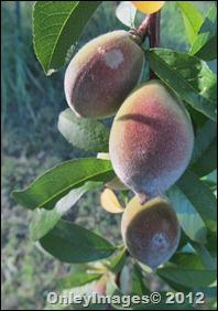 peaches0512 (2)