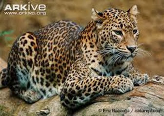 Amazing Pictures of Animals, Photo, Nature, Incredibel, Funny, Zoo, Leopard,Panthera pardus, Mammals, Carnivora, Alex (2)