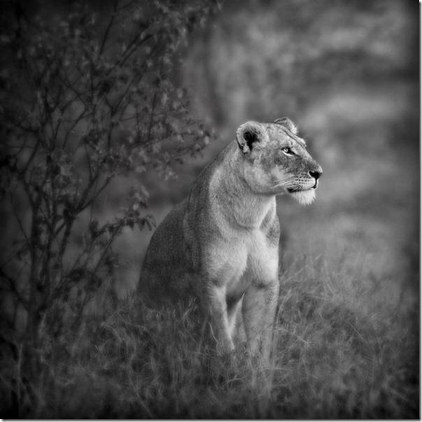 Fotos preto e branco de animais selvagens (25)