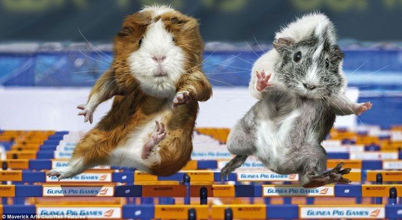 guinea-pig-games-9