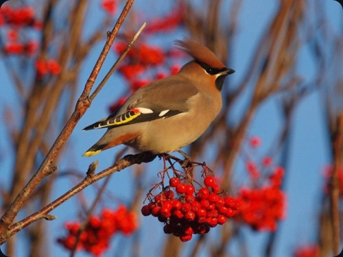 Amazing Beauty of Waxwing Birds