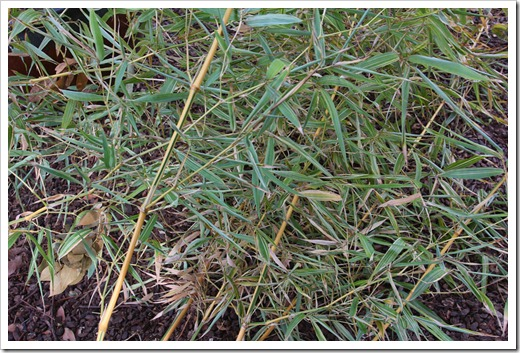 120218_Phyllostachys-bambusoides-Castillon_05
