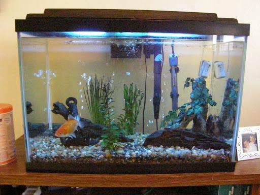 20 gallon aquarium setup member spotlight on beth1965 for Fish tank gallon calculator