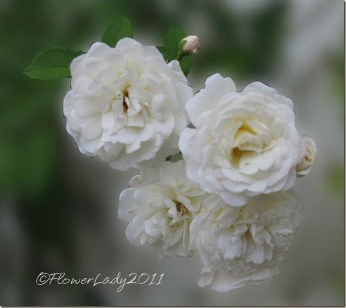 prosperity-roses