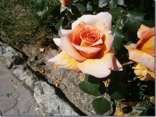 Giardino iris e rose 243