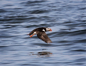 Amazing Puffin in flight