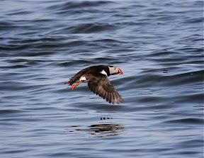 Amazing Puffin in flight
