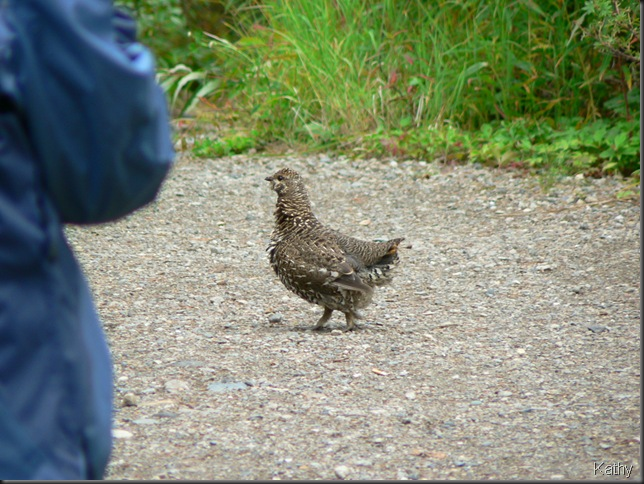 Spruce Grouse on the trail