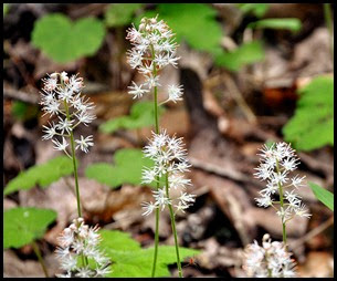 04 - Spring Wildflowers - Star Chickweed