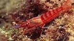 Méditerranée grotte à corail rouge crevette cavernicole rouge