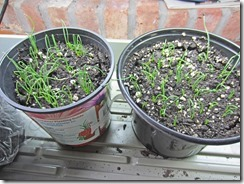 Onion-Seedlings-3-3-2013