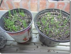 Onion-Seedlings-3-3-2013