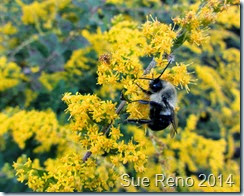 Sue Reno, Goldenrod with Bee