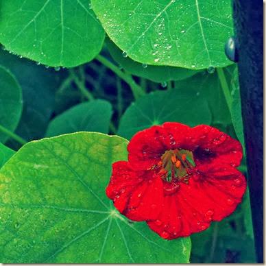 nasturtium afer rain