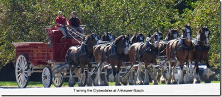 Training the Clydesdales at Anheuser-Busch