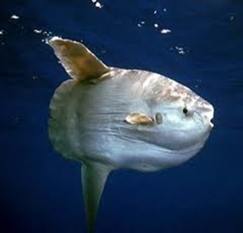 Amazing Pictures of Animals, photo, Nature, exotic, funny, incredibel, Zoo, ocean sunfish, Mola mola, or common mola, Alex (9)