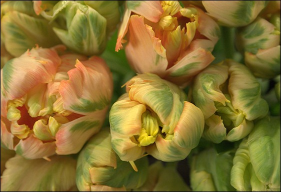 5521160453_41a707ff22 peach parrot tulip garden party flowers