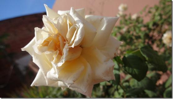 flor-flores-rosas-imagens140