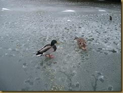 IMG_0657 Ducks