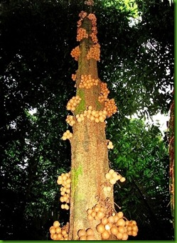 Kepel cauliflorus