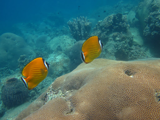 A pair of beautiful Butterfly Fish.